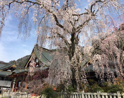 ゆる身延撮影 久遠寺しだれ桜
