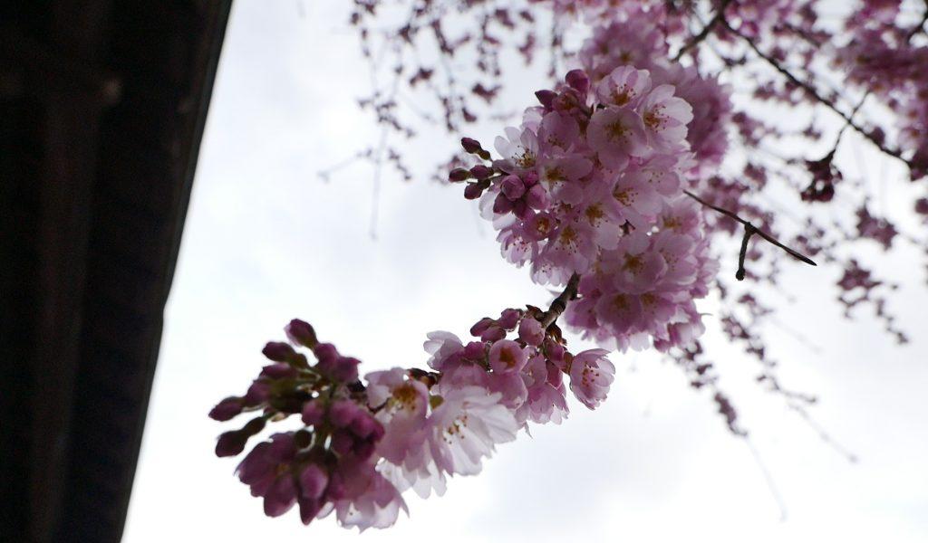 身延山三門 しだれ桜