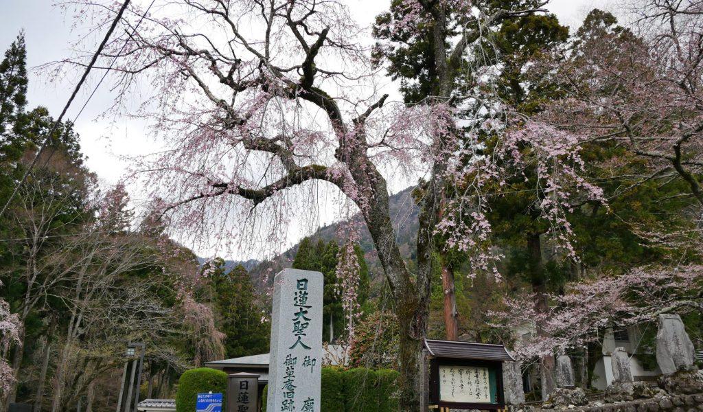 ご廟所入り口 しだれ桜