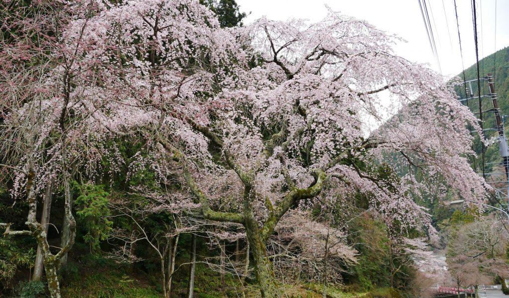 西谷 樋之沢坊 しだれ桜