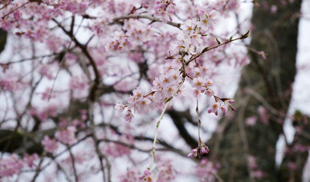 西谷 麓坊 下 しだれ桜