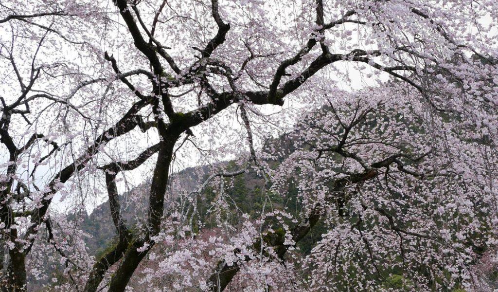 西谷 武井坊 しだれ桜