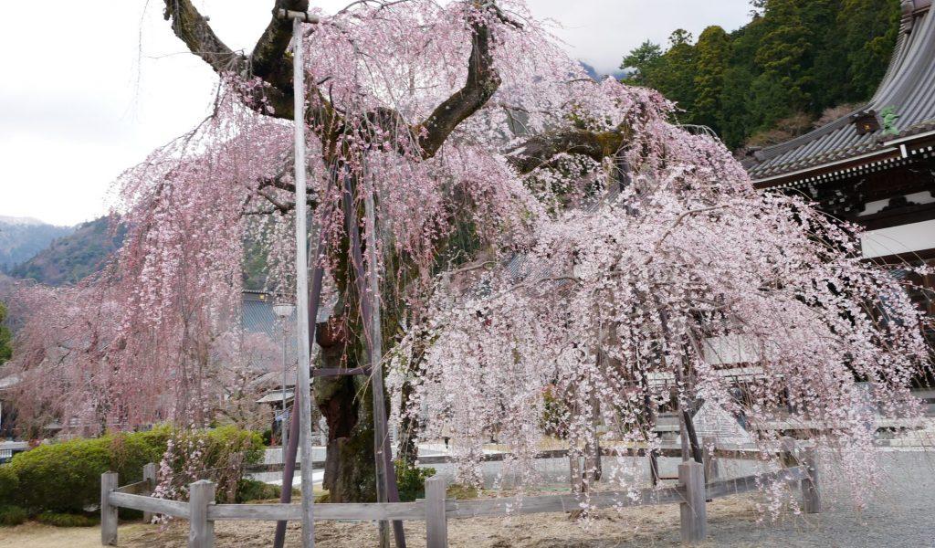 身延山久遠寺しだれ桜 仏殿前
