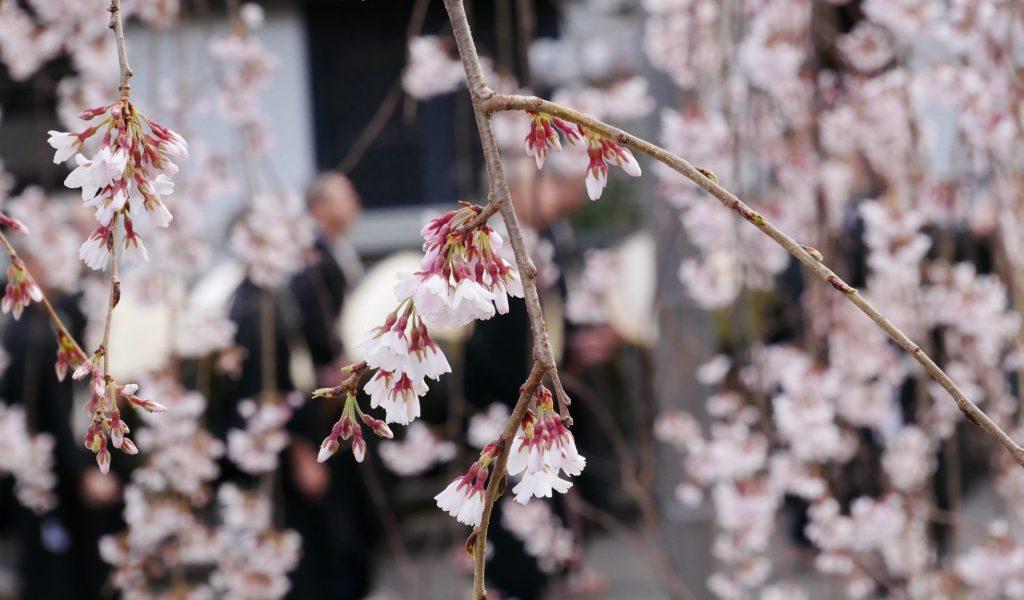 身延山久遠寺しだれ桜仏殿前