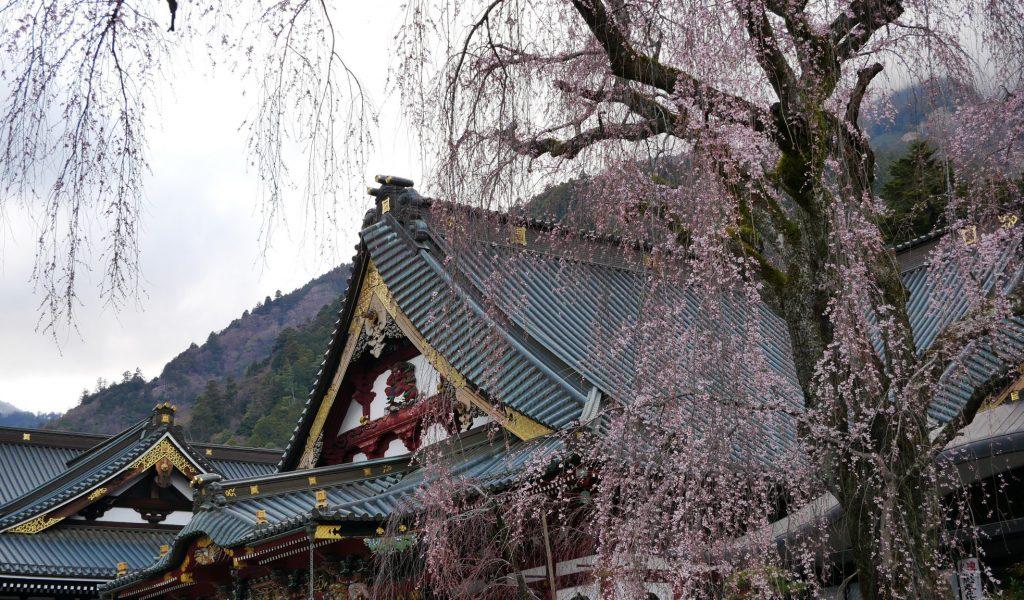 身延山久遠寺 しだれ桜
